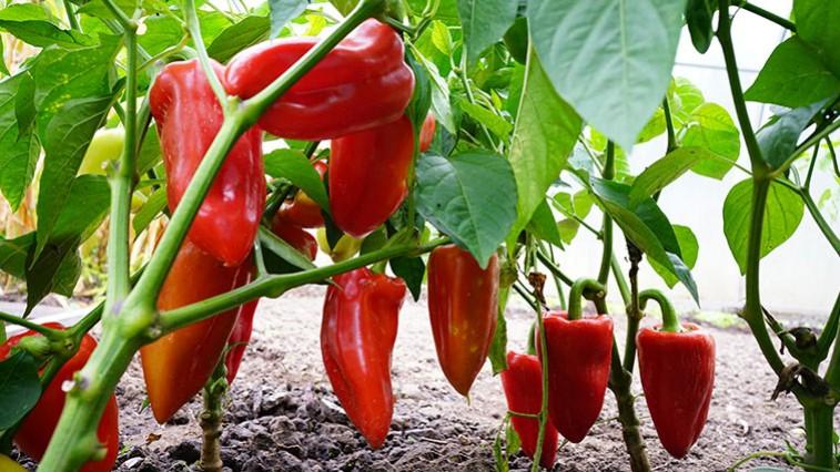 A paprika termesztése: Zsákban is gond nélkül megterem