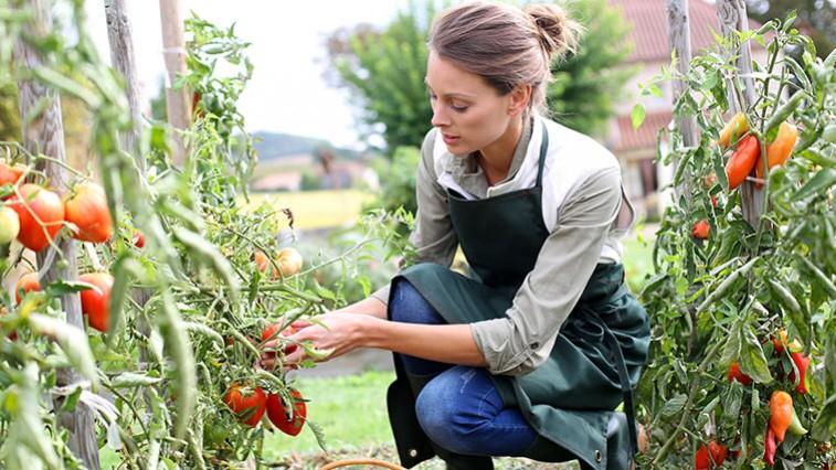A paradicsom termesztése az ültetéstől a gazdag termésig