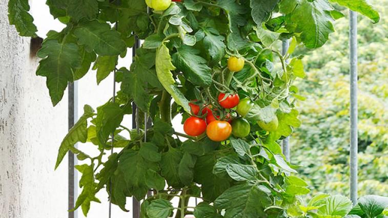 A paradicsom termesztése cserépben: Meleget és vizet igényel